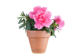 Photo sur Plexiglas Azalea Blossoming pink azalea in a flowerpot