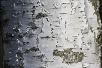 White birch bark