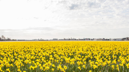 Enormous field of yellow daffodills, The Netherlands