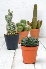 Natural three Cactus Plants on wood table