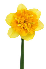 Garden Poster Narcissus Yellow daffodil isolated on white