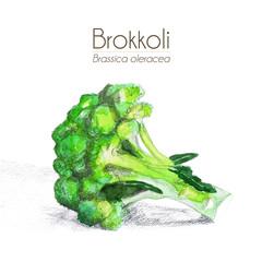 Brokkoli - mit Schatten, Aquarell
