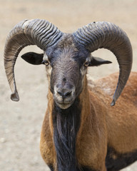 Мountain goat