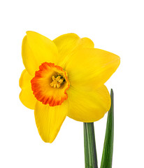 Yellow daffodil isolated on white