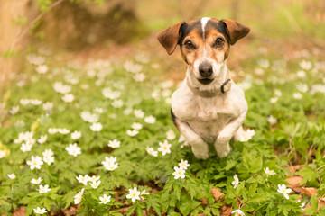 Hund rennt im Frühling im Wald über Buschwindröschen - Jack Russell Terrier 10 Jahre alt