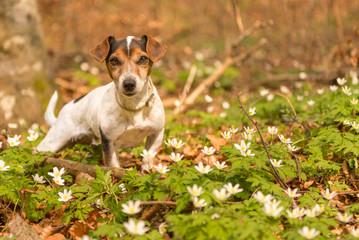 Hund liegt im Frühling im Wald in Buschwindröschen - Jack Russell Terrier 10 Jahre alt