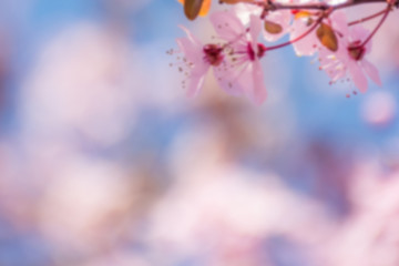 Spring tree branch in blossom, or cherry blossom. Artistic retro vintage blurry background with copy space for text.