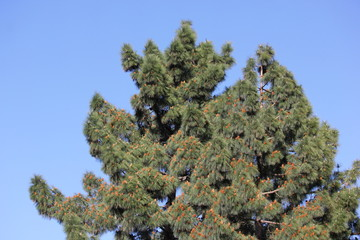 Pinecone filled tree on a blue sky