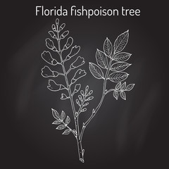 Florida fishpoison tree, or Jamaican dogwood, or fishfuddle Piscidia piscipula , tropical tree