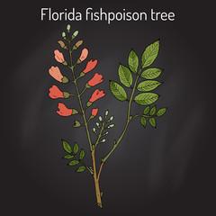 Florida fishpoison tree, or Jamaican dogwood, or fishfuddle Piscidia piscipula , tropical tree