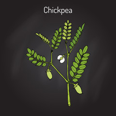 Chickpea Cicer arietinum , or bengal gram, garbanzo bean, egyptian pea