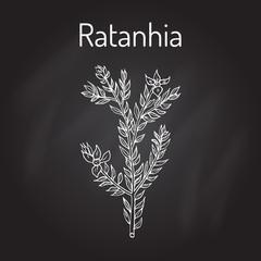 Rhatany Krameria lappacea , medicinal plant