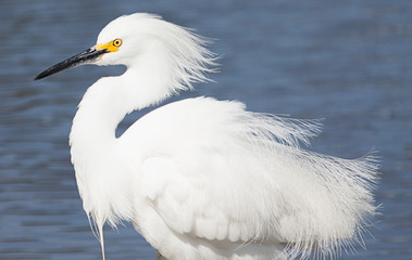 Snowy egret with feathers blowing in wind