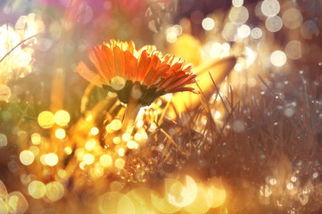 Wall Mural - Marguerite flower at sunrise in golden sun rays close-up macro with soft focus. Dew in the grass sparkles in the sun, background with beautiful bokeh circles. A bright artistic image.