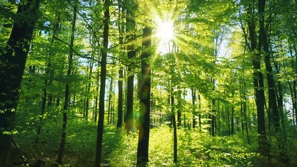 Wall Mural - Fresh green beech forest beautifully illuminated by warm rays of the spring sun