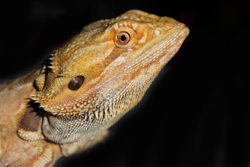 Bearded Dragon with Red and Orange Markings