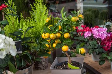 oranger en pot chez le fleuriste