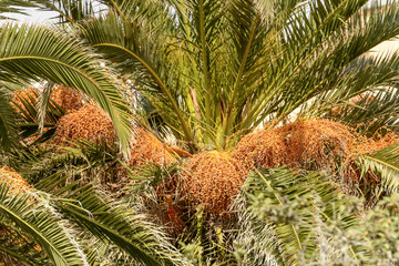 dates on palm, Finale Ligure, Italy