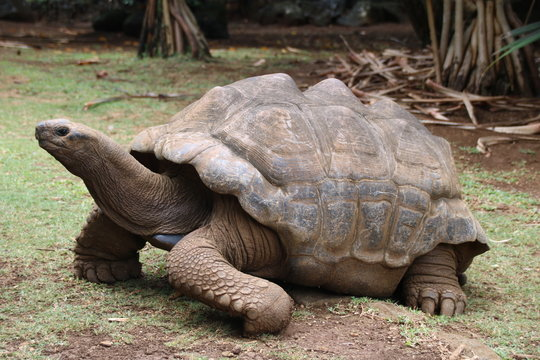 Aldabra Giant Tortoise (Dipsochelys gigantea), This reptile is the last surviving giant tortoise species, which once inhabited some islands of the Indian Ocean.