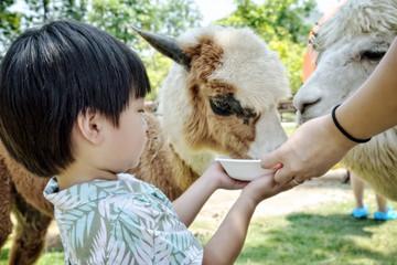 Little boy feeding alpacas in farm : Closeup