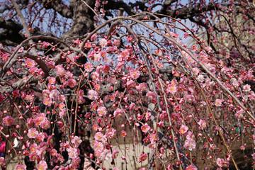 Weeping plum(日本のしだれ梅)
