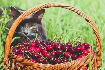 Ripe red organic sweet cherry in the garden