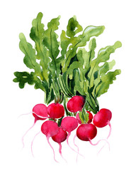 radish, watercolor illustration for cookbook, recipe, menu, market banner design