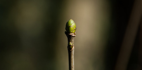 Tree bud sprouting