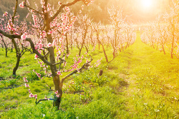 Spring landscape: fruit trees in blossom with beautiful flowers