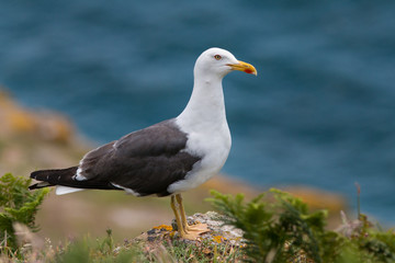 backed gull at rock