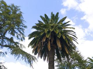 A palm tree on an urban public garden on Hervas, Spain