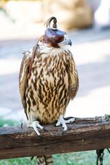 falco inalennato