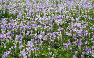 field full of purple crosus flowers, spring and Easter scenery