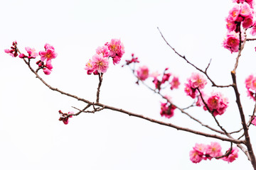 pink sakura cherry blossom isolated