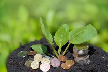Green plant grow out of soil and golden coins,investment and saving money concept