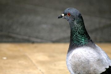 Catania, il piccione di Piazza Stesicoro