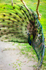 Peacock spread out wings wide feathers.