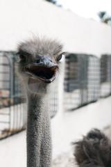 Ostrich head afrikanskogos black beak