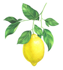 Watercolor lemon branch on white background