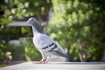 speed racing pigeon bird perching on home loft against green blur background