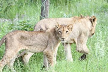 Regard précis d'un lionceau