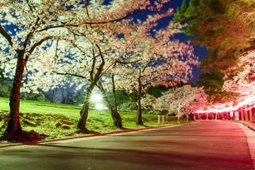 Long exposure of Cherry blossom in Joyama park during Hanami festival