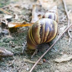 Large tropical snail