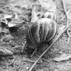 Large tropical snail - black and white