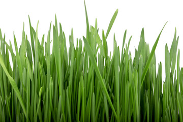 Sprouted cereals! Green grass.