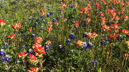 Field of Bluebonnets and Indian Paintbrushes