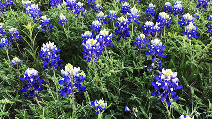 Texas Field of Bluebonnets
