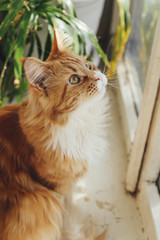 A beautiful big red cat Maine Coon sits and looks out the window.