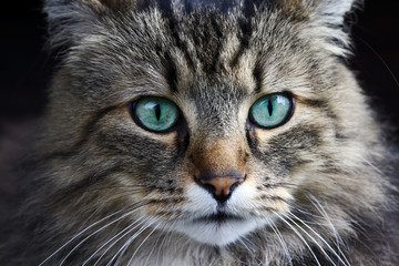 Nahaufnahme von einer hübschen Norwegischen Waldkatze