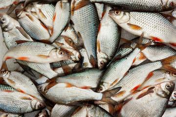 A lot of small fish, close-up